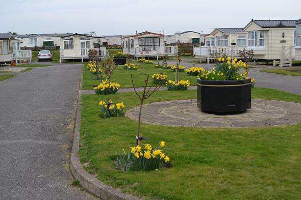 Skegness Sands Daffodils